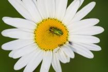 Krasec lesklý - Anthaxia nitidula, Orlické hory, 6.6.2010