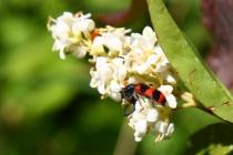 Pestrokrovečník včelový - Trichodes apiarius , PR Báň, 14.6.2009