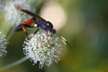 Lumek - Ichneumonidae sp., Údolí Olešenky- U Žídků, 4.8.2012