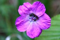 Paličnatka - Cimbicidae sp., PR Kněžičky, 25.5.2012