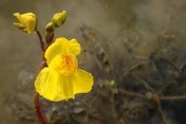 Bublinatka jižní- Utricularia australis, PP Na Plachtě