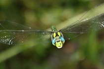 Šídlo modré- Aeshna cyanea, Náchod