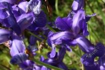 Kosatec sibiřský- Iris sibirica, Zbytka u Českého Meziříčí