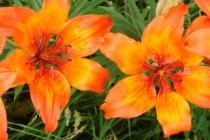 Lilie cibulkonosná- Lilium bulbiferum, Orlické hory