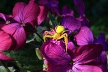 Měsíčnice roční a běžník kopretinový- Lunaria annua a Misumena vatia