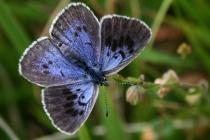 Modrásek černoskvrnný- Maculinea arion, Dlouholočské stráně
