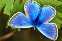 Modrásek jetelový- Polyommatus bellargus, Kudowa Zdroj
