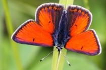 Ohniváček modrolemý- Lycaena hippothoe, Orlické hory