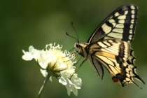 Otakárek feniklový- Papilio machaon, Náchod