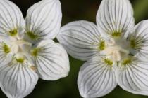 Tolije bahenní- Parnassia palustris, Orlické hory- Velká louka