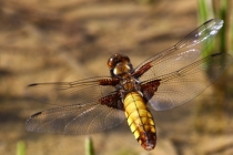 Vážka ploská- Libellula depressa, Náchod