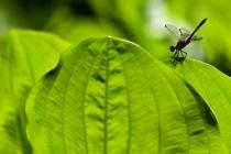 Vážka rudá- Sympetrum sanguineum, Náchod- Běloves
