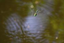 Lesklice zelenavá - Somatochlora metallica , Náchod- rybníčky pod Vojenským hřbitovem, 8.8.2009