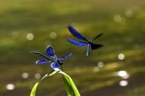 Motýlice lesklá a motýlice obecná - Calopteryx splendens a C. virgo , PR Peklo, 17.7.2009