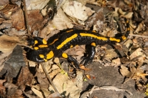 Mlok skvrnitý - Salamandra salamandra , Výrov, 30.4.2012