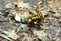 Mlok skvrnitý - Salamandra salamandra , Výrov, 7.5.2013