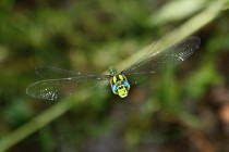 Z očí do očí - šídlo modré (Aeshna cyanea)