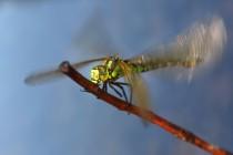 Samice šídla modrého (Aeshna cynea) se zahřívá na provozní teplotu