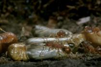 Dělnice r. Myrmica pečují o kukly modráska Rebelova (Maculinea alcon Rebeli), foto- BBC Life in the Undergrowth - Intimate Relations