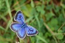 Modrásek černoskvrnný- Maculinea arion, samec, Dlouholočské stráně, 16.7.2011