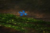 Motýlice obecná - Calopteryx virgo, PR Peklo 2