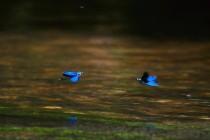 Dva samci motýlice obecné (Calopteryx virgo) ve vzájemném souboji