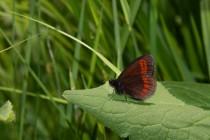 Okáč menší sudetský- Erebia sudetica , Hrubý Jeseník IMG_9391