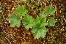 Ostružiník moruška - Rubus chamaemorus , Krkonoše - Úpské rašeliniště, 16.6.2007