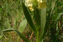Prstnatec bezový - Dactylorhiza sambucina , Orlické hory - Šediviny, 8.5.2010