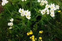 Sasanka narcisokvětá - jeden z mnoha místních botanických klenotů