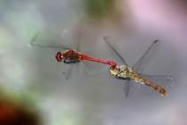Vážka rudá - Sympetrum sanguineum, Náchod – odkaliště Popílek