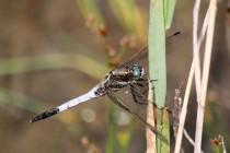Vážka bělořitná - Orthetrum albistylum , Zličský rybník, 16.6.2012 IMG_0066