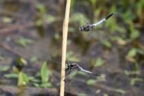 Vážka bělořitná - Orthetrum albistylum , Zličský rybník, 16.6.2012 IMG_0103