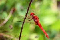 Zlíčský rybník je jednou z mála lokalit východních Čech s výskytem mediteranní vážky červené