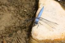 Vážka hnědoskvrnná - Orthetrum brunneum , Zlíčský rybník, 1.7.2012