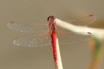 Vážka jarní - Sympetrum fonscolombii , Zlíčský rybník, 5.7.2012 IMG_0388