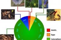 Životní cyklus modráska hořcového - Maculinea alcon, obr. - University of Copenhaven, Department of Biology, http://www.zi.ku.dk/personal/drnash/atta/Media/malc.gif