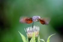 K vynikajícím letcům a dálkovým migrantům patří i lišajové (Dlouhozobka svízelová - Macroglossum stellatarum)