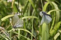 Typickými lučními motýly jsou bělásci, zde bělásek ovocný při námluvách