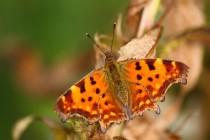 Biotopově nespecializovaní motýli mají podle Suchantkeho hnědo - červené zabarvení. Zde babočka bílé C.