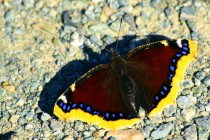 Co se nám asi snaží motýl svými křídly sdělit? Možná toto - jsem babočka osiková a svět je se mnou krásnější.