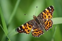 Když létá jarní generace babočky síťkované nejsou stromy ještě plně olistěny a motýl má světlejší načervenalou kresbu.