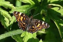 """Kdežto letní generace babočka síťkované létá ve více zatíněném prostředí a proto má tmavou kresbu, která je typická pro """"lesní"""" motýly."""