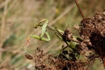 Kudlanka nábožná - Mantis religiosa, PR Bludy, 11.9.2011