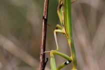 Kudlanka nábožná - Mantis religiosa, PR Bludy, 16.9.2011