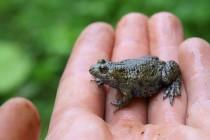 Kuň patří k žábám, které z naší krajiny i přes přísnou ochranu rychle mizí