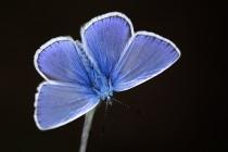 Sameček modráska jehlicového předvádí svoji modrou barvu