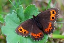 Okáč černohnědý (ostatně jako vvšichni motýli) se po ránu rád vyhřívá na sluníčku
