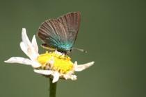 Stejný motýl na konci svého života ...