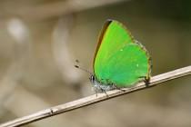 Čerstvě vylíhlý ostruháček ostružinový udivuje nádhernou zelení na rubu svých křídel